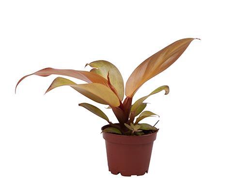 <h4>Philodendron Orange 6Ø 12cm</h4>