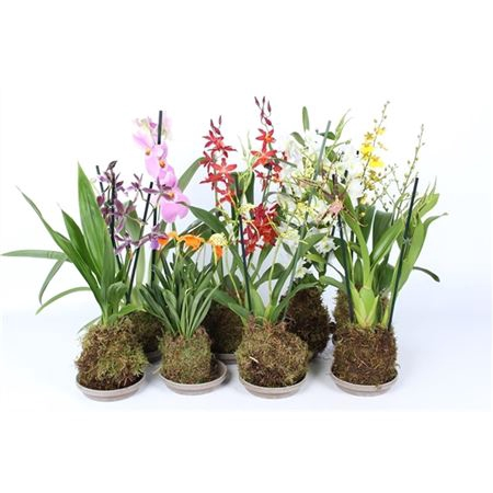 <h4>Orchideeën Gemengd 1 Tak Mos</h4>