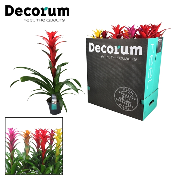 <h4>Guzmania Maxima Mix XXL (Decorum)</h4>