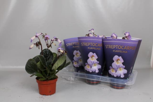 <h4>Streptocarpus Purpelina 13Ø 30cm</h4>