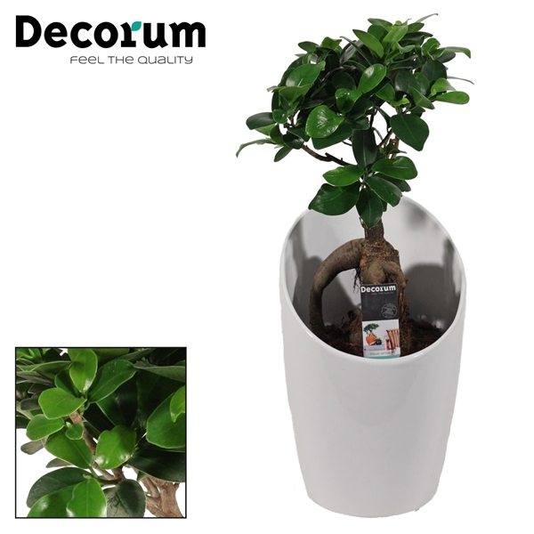 <h4>Ficus Microcarpa Ginseng geënt 12 cm in Miami wit (Decorum)</h4>