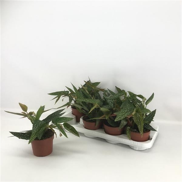 <h4>Begonia Maculata Mini (Stippenplant)</h4>
