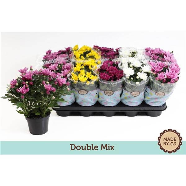 <h4>Chrysanthemum double mix</h4>