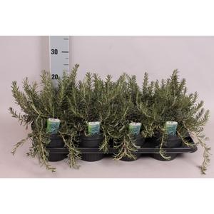 Kruiden I Rosmarinus prostratus (Kruip rozemarijn)
