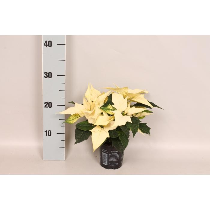 <h4>Poinsettia 10,5 cm Alaska White</h4>