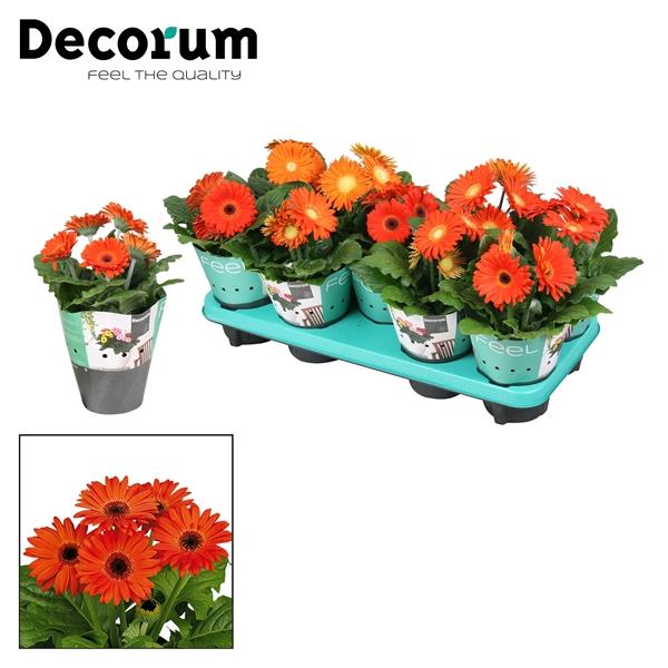 <h4>Gerbera Belicht 2+ Bl. 12cm oranje (diverse kleurtinten) met potcover</h4>
