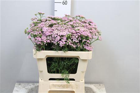 <h4>Achil M Lilac Beauty</h4>