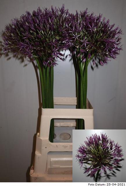<h4>ALLIUM PURPLE RAIN</h4>