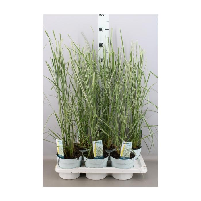 <h4>Calamagrostis acutifl. 'Overdam'</h4>