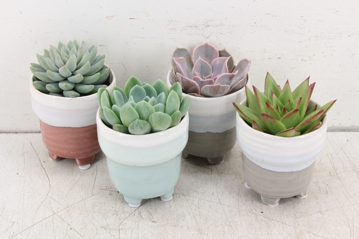 <h4>pl. AM 287 - Succulent ceramics kl. mix</h4>