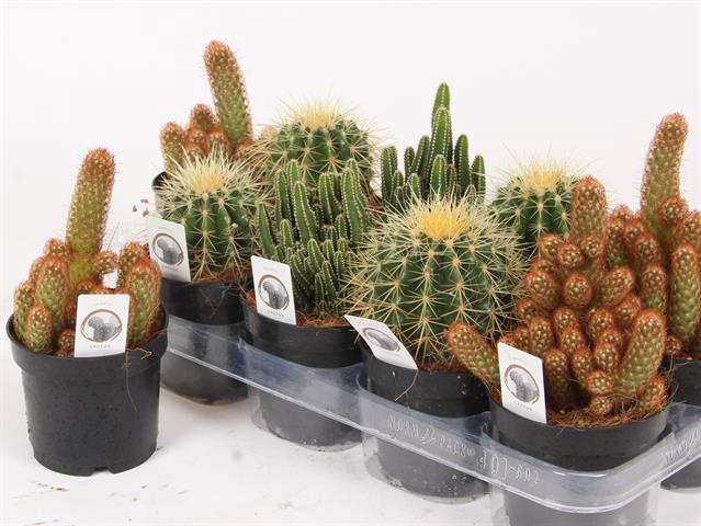 Cactus mix 12Ø 25cm
