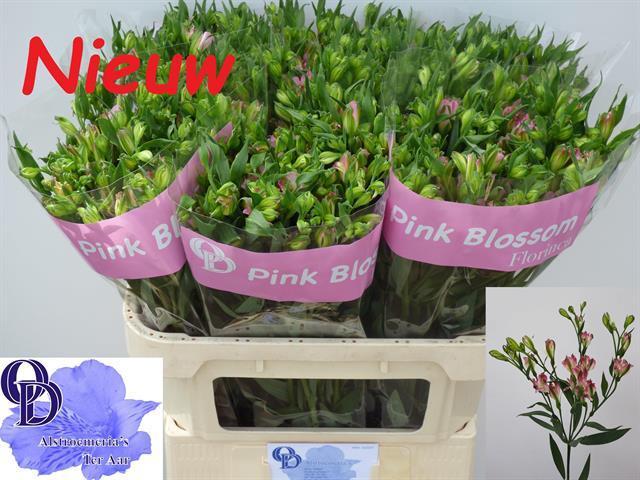 <h4>Alstroemeria florinca Pink Blossom</h4>
