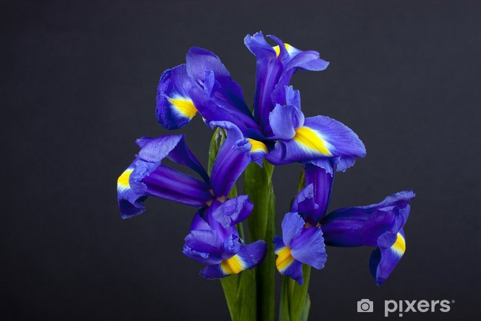 <h4>Iris x7</h4>