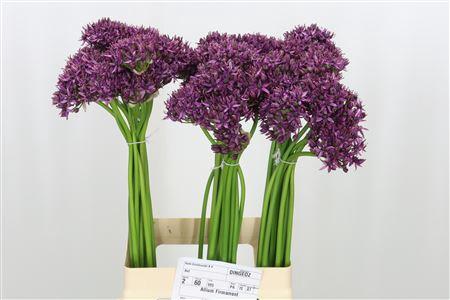 <h4>Allium Firmament Paars</h4>