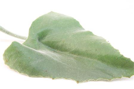 <h4>Kalanchoe Beharensis 25cm</h4>