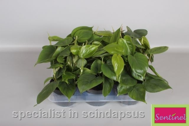<h4>Philodendron scandens</h4>