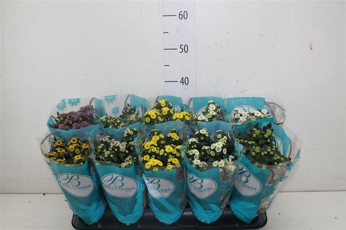 <h4>Chrysanth Calimero Gemengd</h4>
