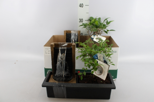 <h4>Bonsai   ...mix</h4>