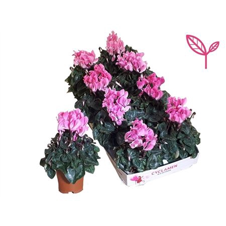 <h4>Cycl Patio Licht Rose</h4>