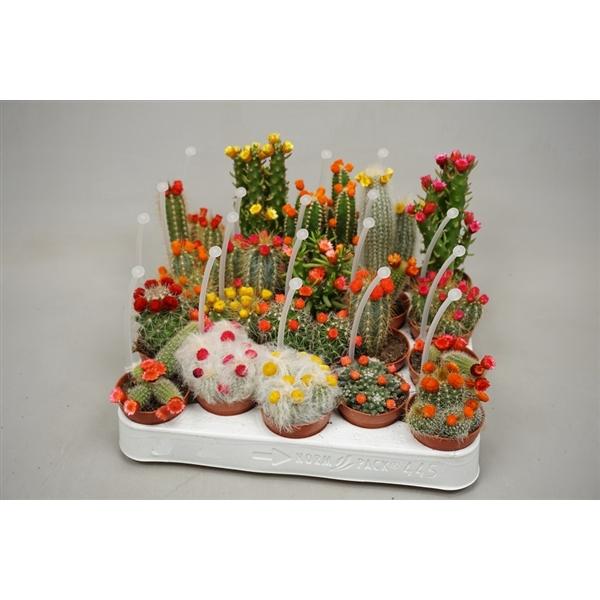 <h4>Cactus mix strobloem 5,5 cm met picker</h4>