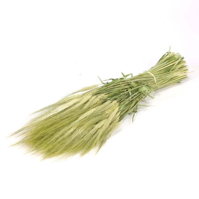 <h4>Gerst (hordeum) green natural</h4>