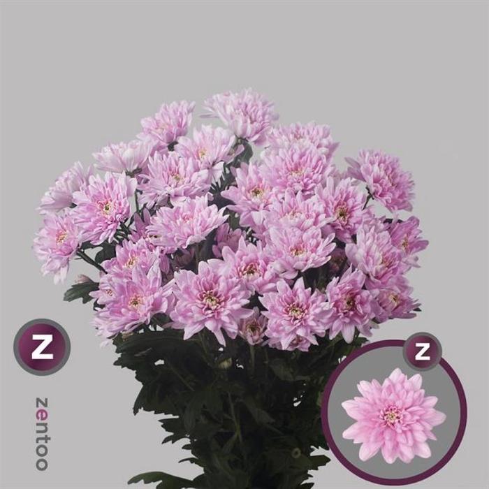 <h4>Chr T Baltica Pink</h4>