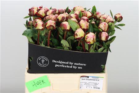 <h4>Paeonia Gardenia</h4>