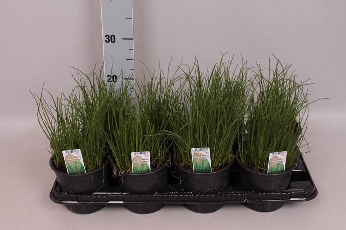Kruiden I Allium schoenoprasum ( bieslook )