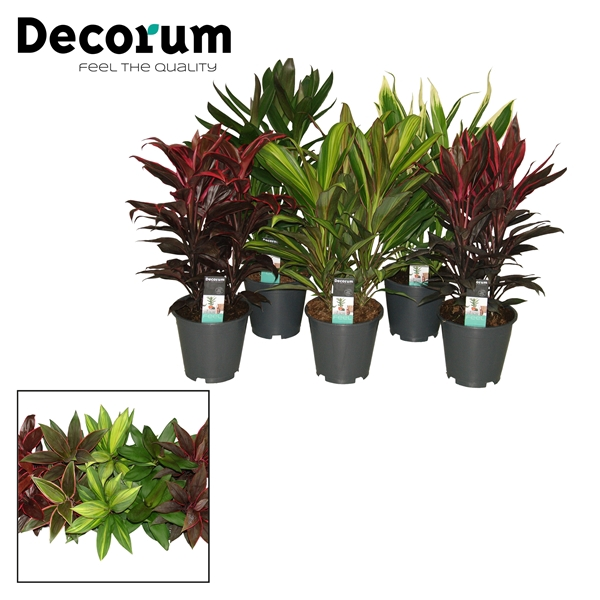 <h4>Cordyline mix toef 19</h4>
