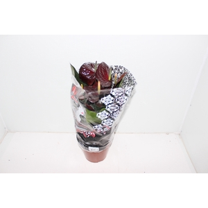 ANTHURIUM GIANT CHOCOLATE P19 CHOCOLATE