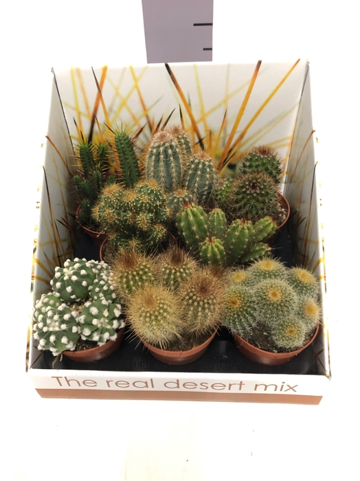 Cactus mix showbox 8,5Ø 22cm RD03
