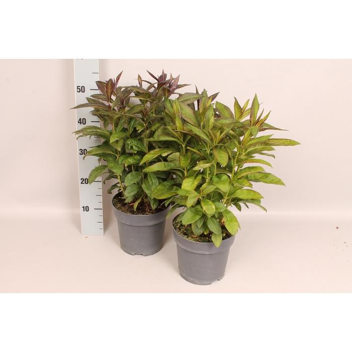 <h4>vaste planten 19 cm  Phlox Sweet Summer Overig</h4>