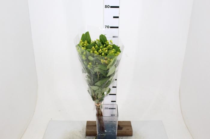 <h4>HIPERICUM GREEN TEA 070 CM</h4>