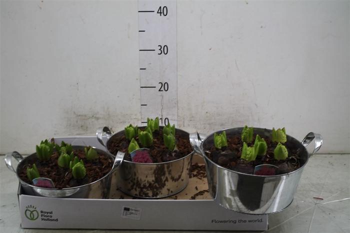 <h4>Arr Hyacinth In Zinken Teil 6pp</h4>