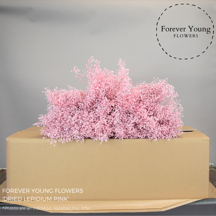 <h4>DRIED LEPIDIUM PINK</h4>