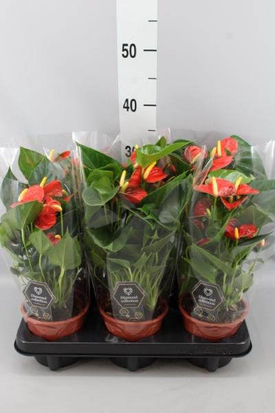 <h4>Anthurium andr. 'Baby Orange'</h4>