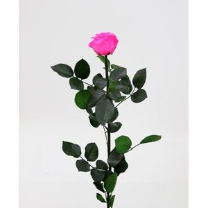 Roos op steel  standard Bright pink