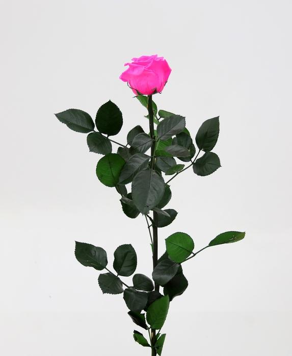<h4>Roos op steel  standard Bright pink</h4>