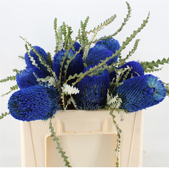 <h4>Banksia Speciosa Blue</h4>
