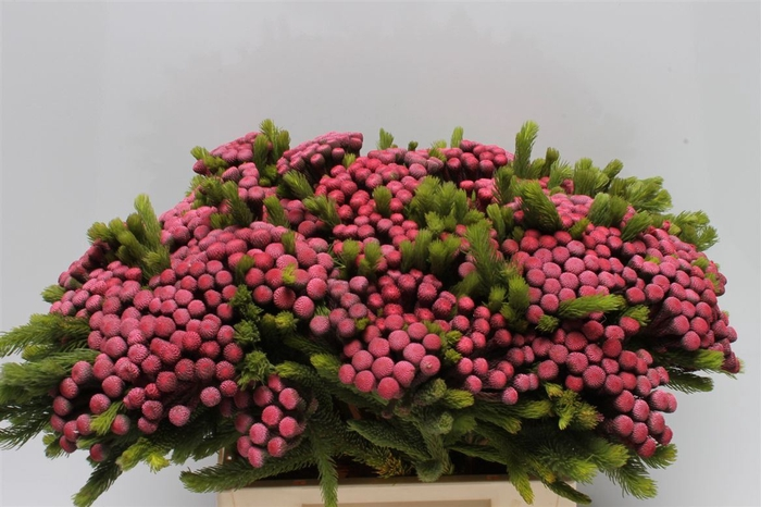 <h4>Kaaps Albiflora M Cerise</h4>