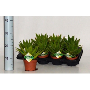 Aloe Perfoliata 12Ø 20cm
