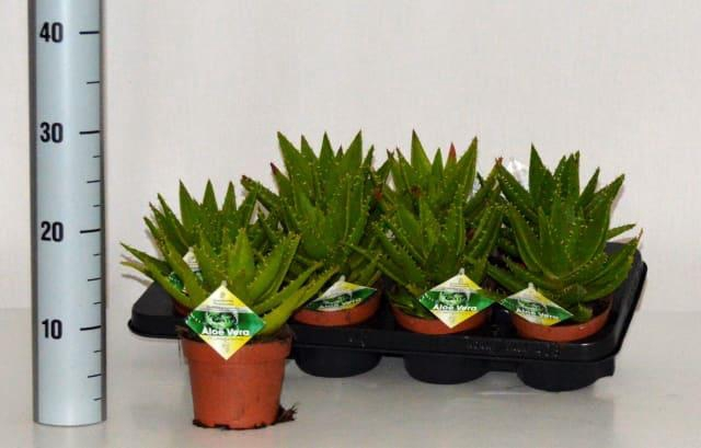 <h4>Aloe Perfoliata 12Ø 20cm</h4>