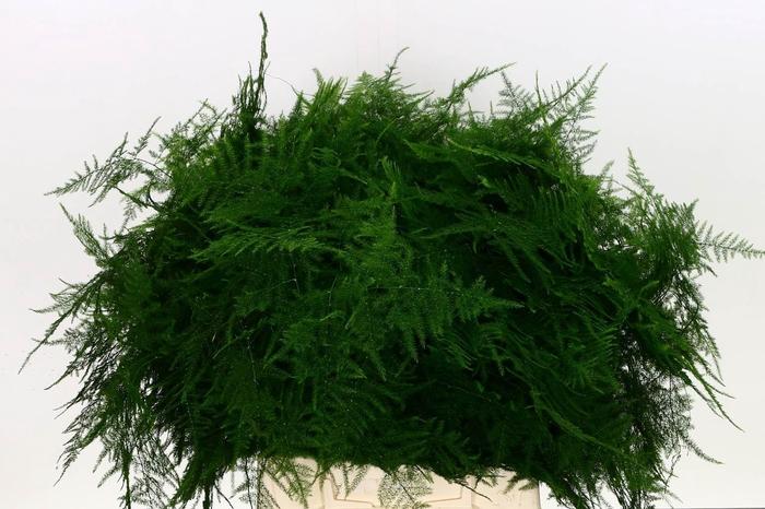 <h4>Asparagus Setac Eerste Veren</h4>
