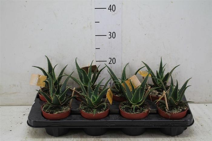 <h4>Aloe Aculeata</h4>