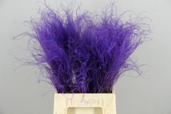 <h4>Df Stypha 40cm Bs Purple</h4>