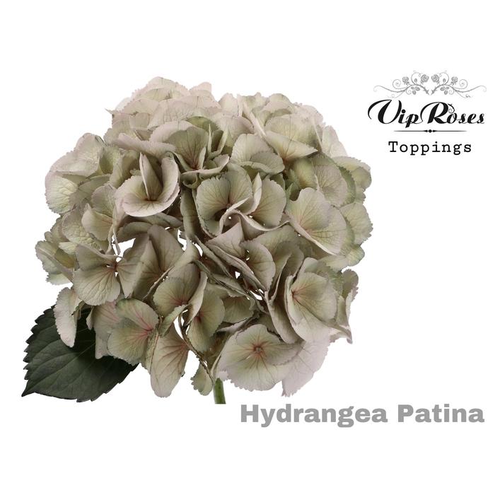 <h4>HYDR M PATINA L 60 cm (SMALL HEAD)</h4>