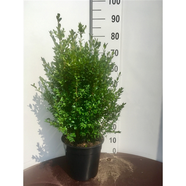 <h4>Buxus sempervirens, plantmaat 60-70</h4>