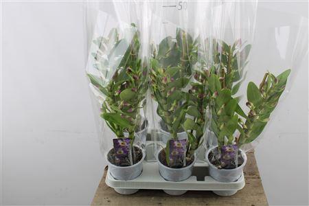 <h4>Dendrobium Nobile Purple 2 Stems</h4>
