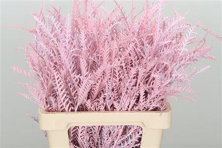 <h4>Dec Grevillea Ivanhoe Pink</h4>