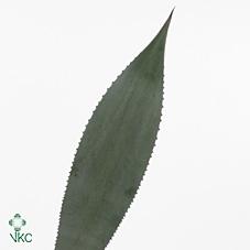 <h4>Aloe 1 Leaf</h4>